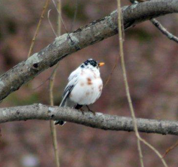 Pied Robin, Front View