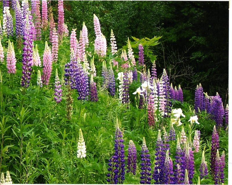 Cavendish Lupine & Lillies